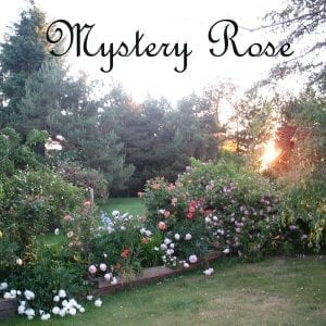 Rogue Valley Roses mystery rose
