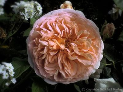 About Rogue Valley Roses
