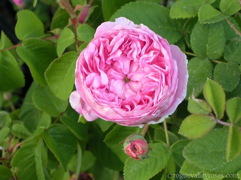 Louise Odier – Rogue Valley Roses