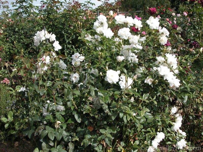 rose schneewittchen